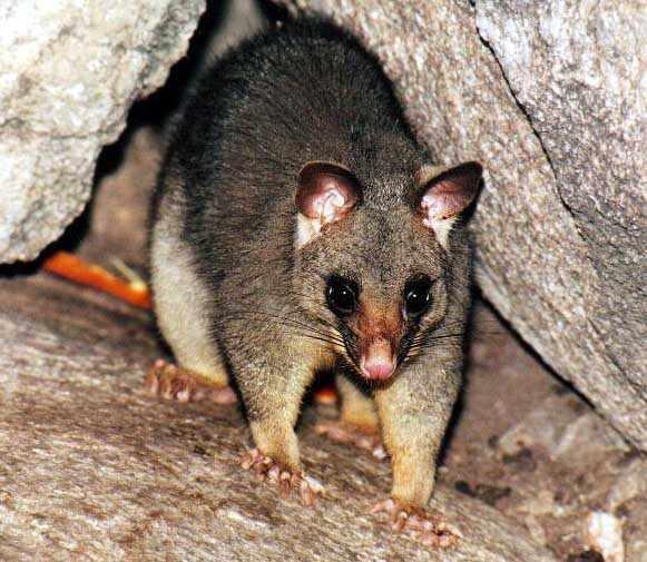 Australian marsupial