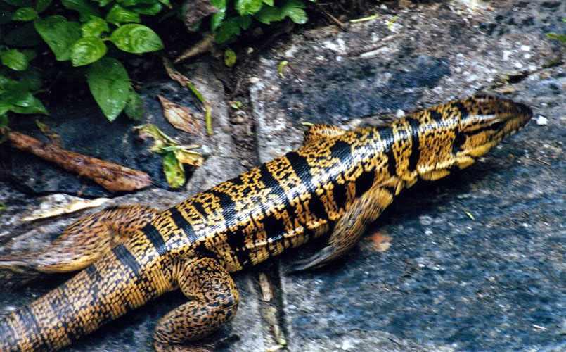http://richard-seaman.com/Reptiles/Trinidad/TeguLizardRunning.jpg