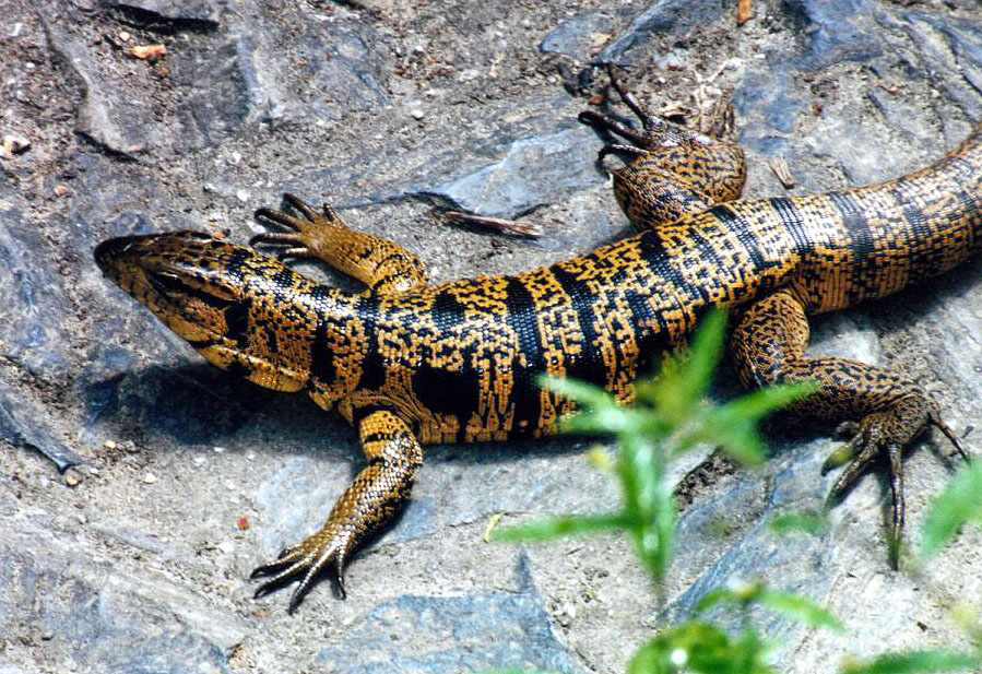 http://richard-seaman.com/Reptiles/Trinidad/TeguLizardSpreadOutFacingLeft.jpg