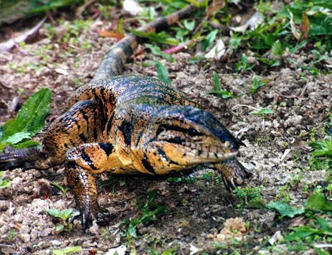 http://richard-seaman.com/Reptiles/Trinidad/TeguLizardWalkingForward.jpg