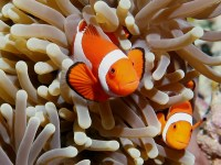 Amphiprion ocellaris photographed in March of 2006 using a Canon 5D camera in an Ikelite housing with a Sigma 50mm macro lens and an Ikelite DS-50 strobe   (1/180th second, f13, ISO 200)